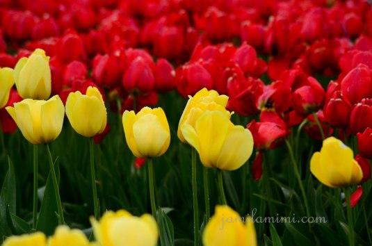 tulip-15a