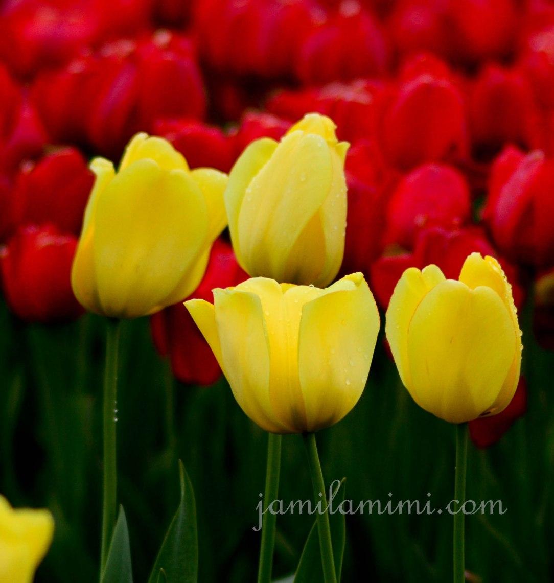 tulip-16a