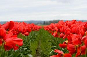 tulip-22a