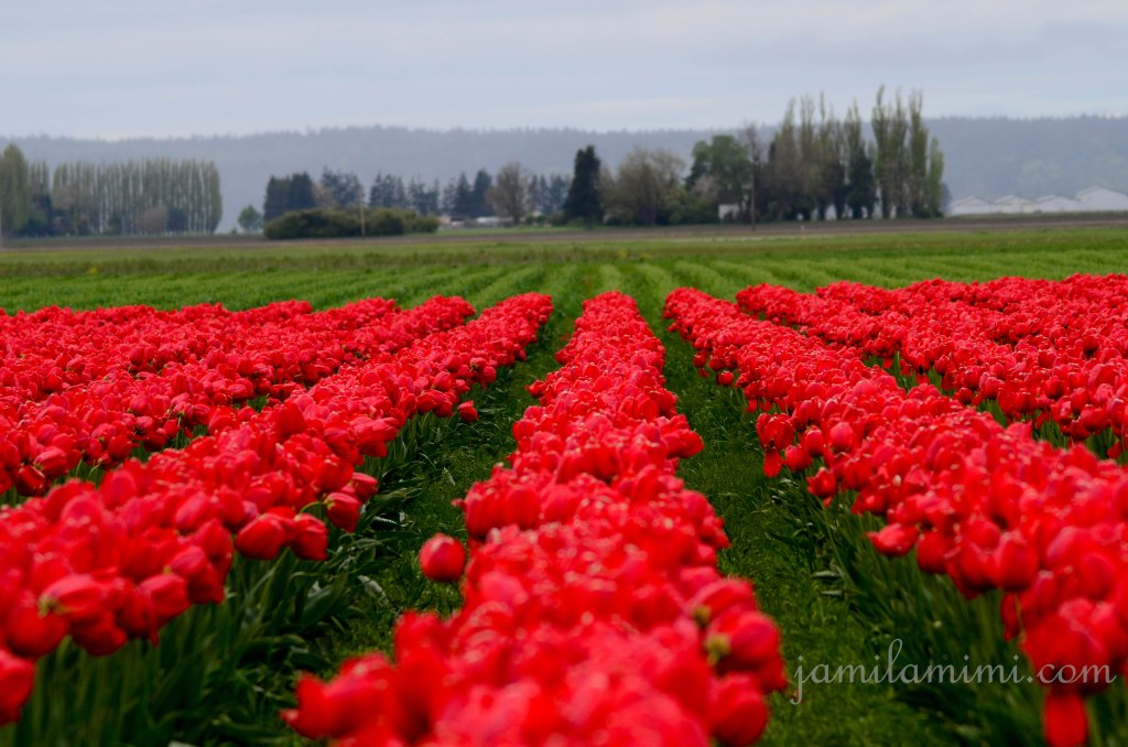 tulip-26a