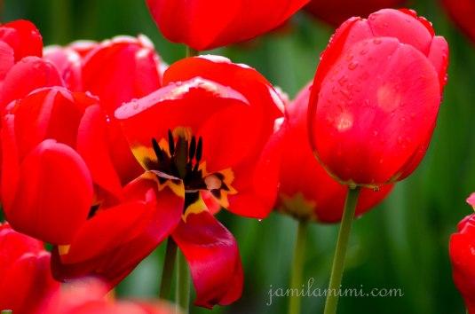 tulip-36a