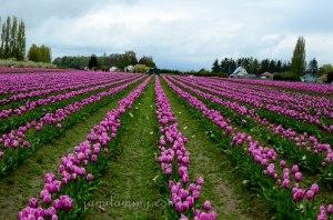 tulip-48a