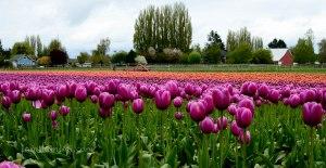 tulip-60a