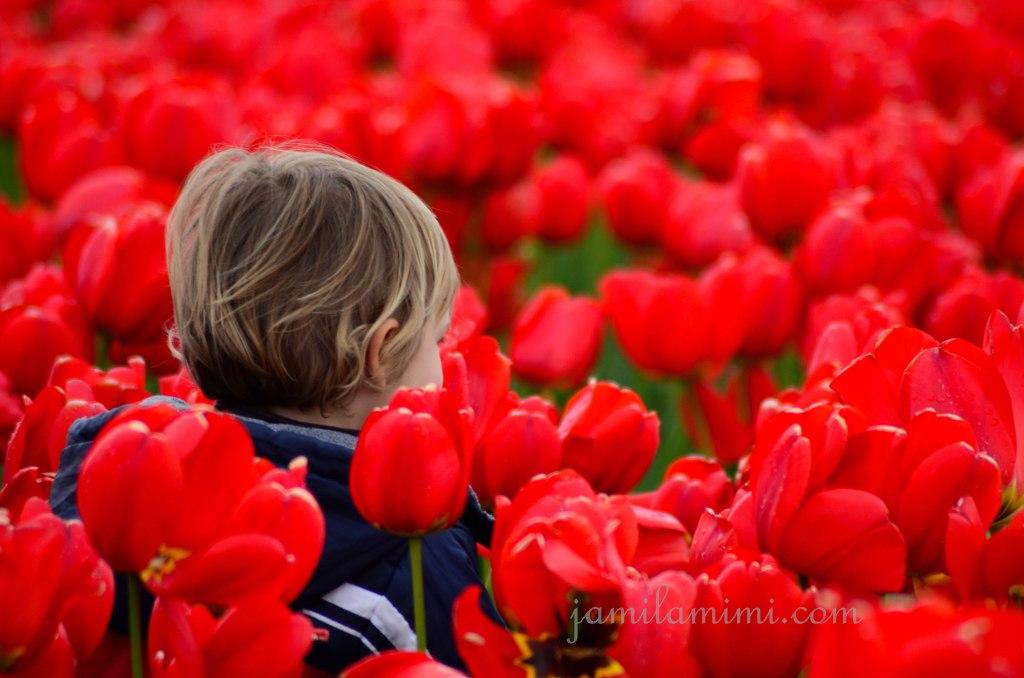 tulip-71a