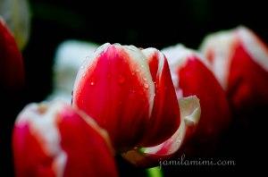 tulip-83a
