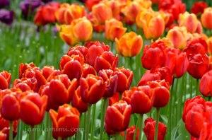 tulip-95a