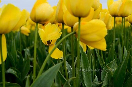 tulip-9a