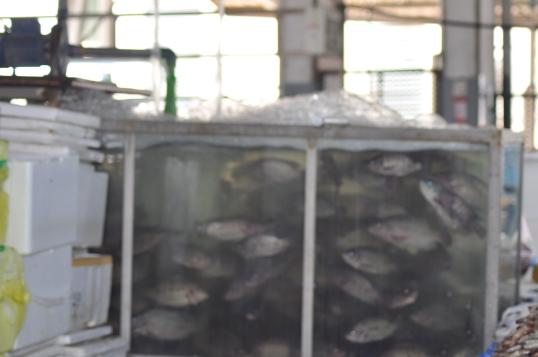 aquarium of tilapia