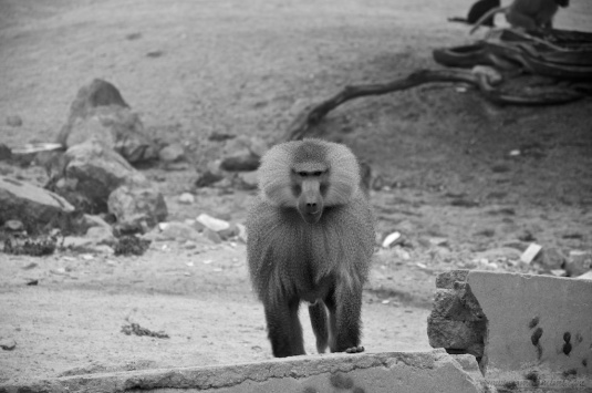 the baboons essay The animals are among 1,100 baboons at the texas biomedical research institute in san antonio, which uses primates to study chronic and infectious diseases like ebola and hiv.