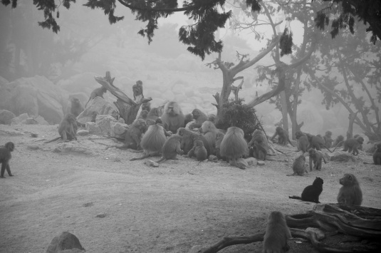 the baboons essay Critically rare and endangered ethiopian wolves show an increase in capturing rodents when foraging within a gelada baboon herd  in a sidebar to the above essay called taming man's best.