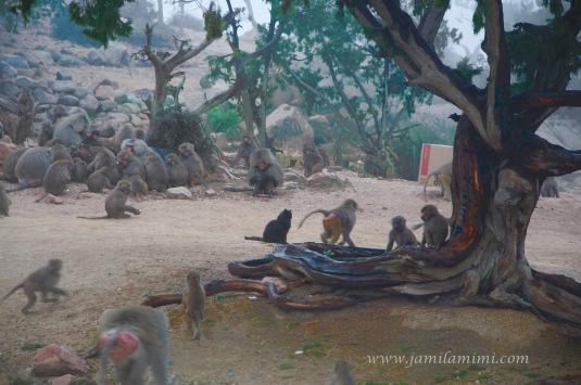 baboons in Al Hada